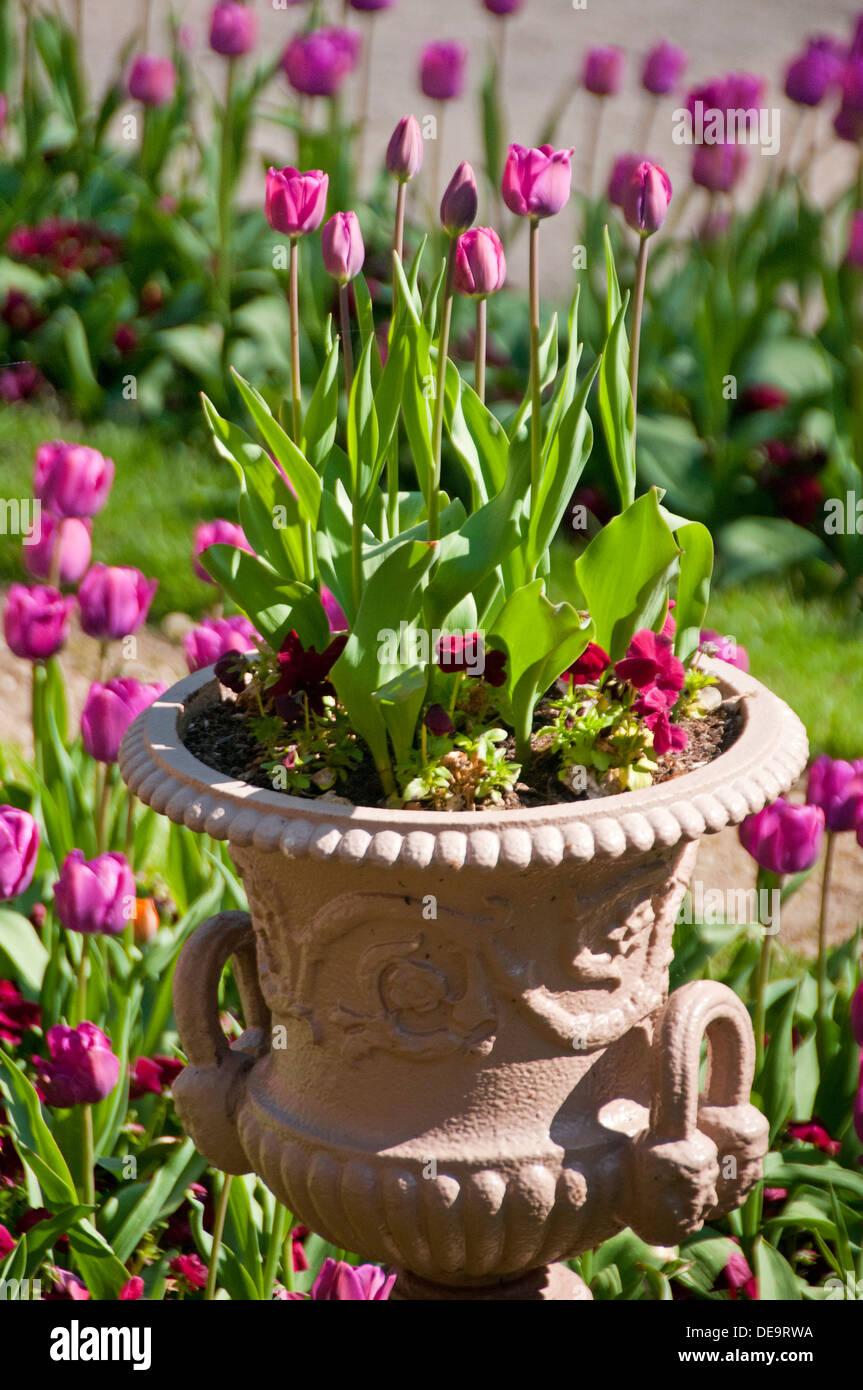 Los tulipanes en un jardín y la sembradora, Cheshire, Inglaterra, Reino Unido. Foto de stock