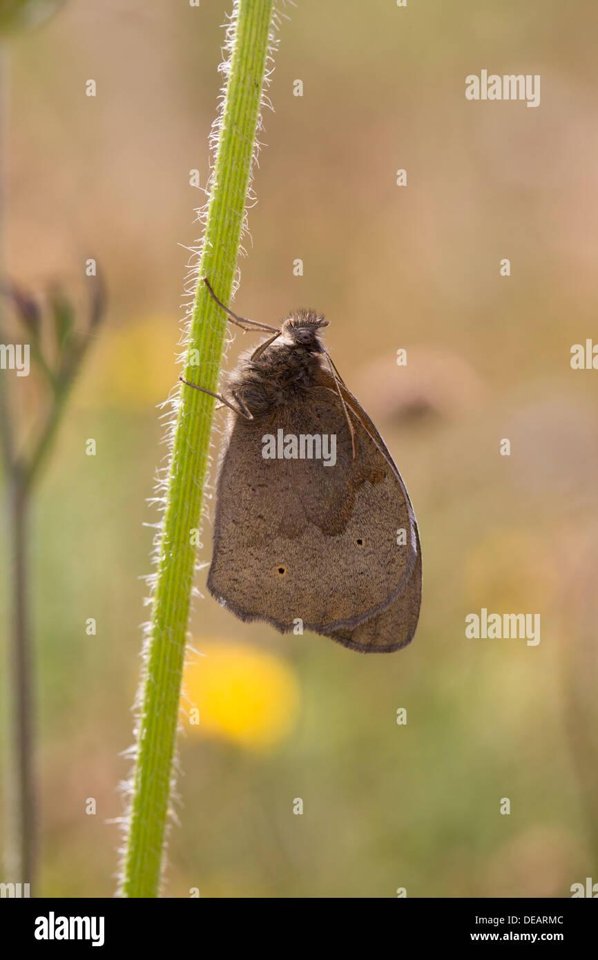 Meadow Brown; Maniola jurtina Mariposas; UK Imagen De Stock