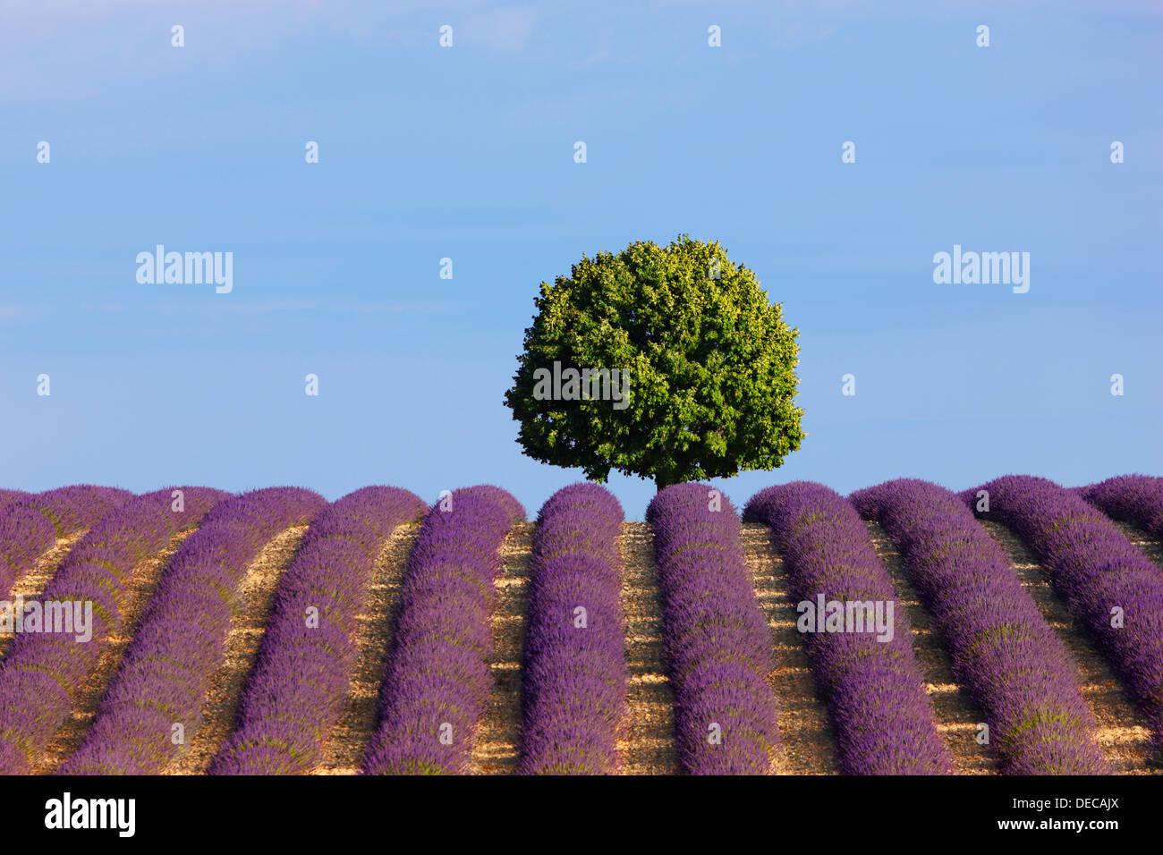 Un árbol en el campo de lavanda Imagen De Stock