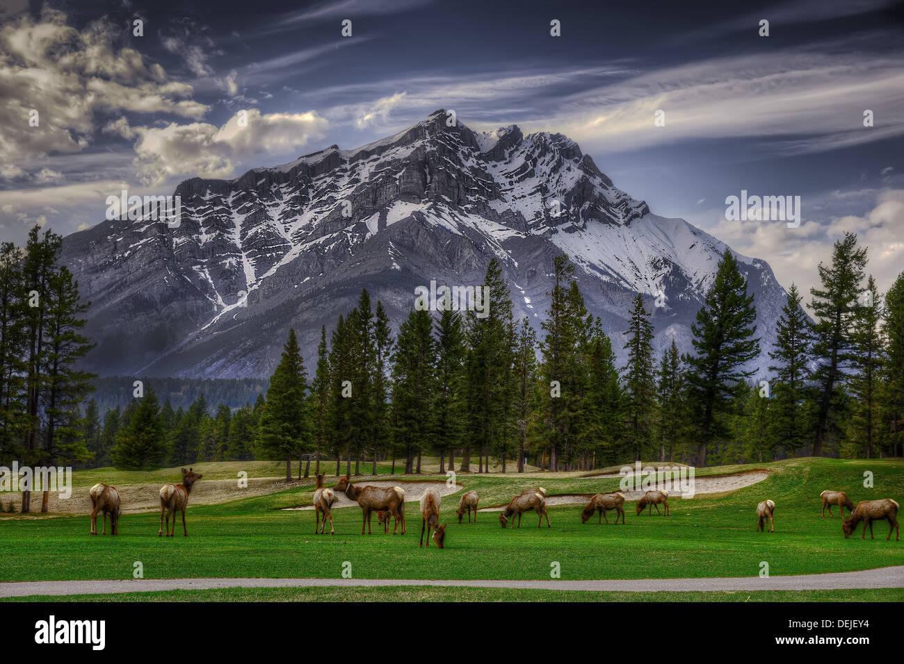 Elk que pastan en el campo de golf en el Parque Nacional Banff, Alberta, Canadá, con montañas rocosas asomándose en segundo plano. Imagen De Stock
