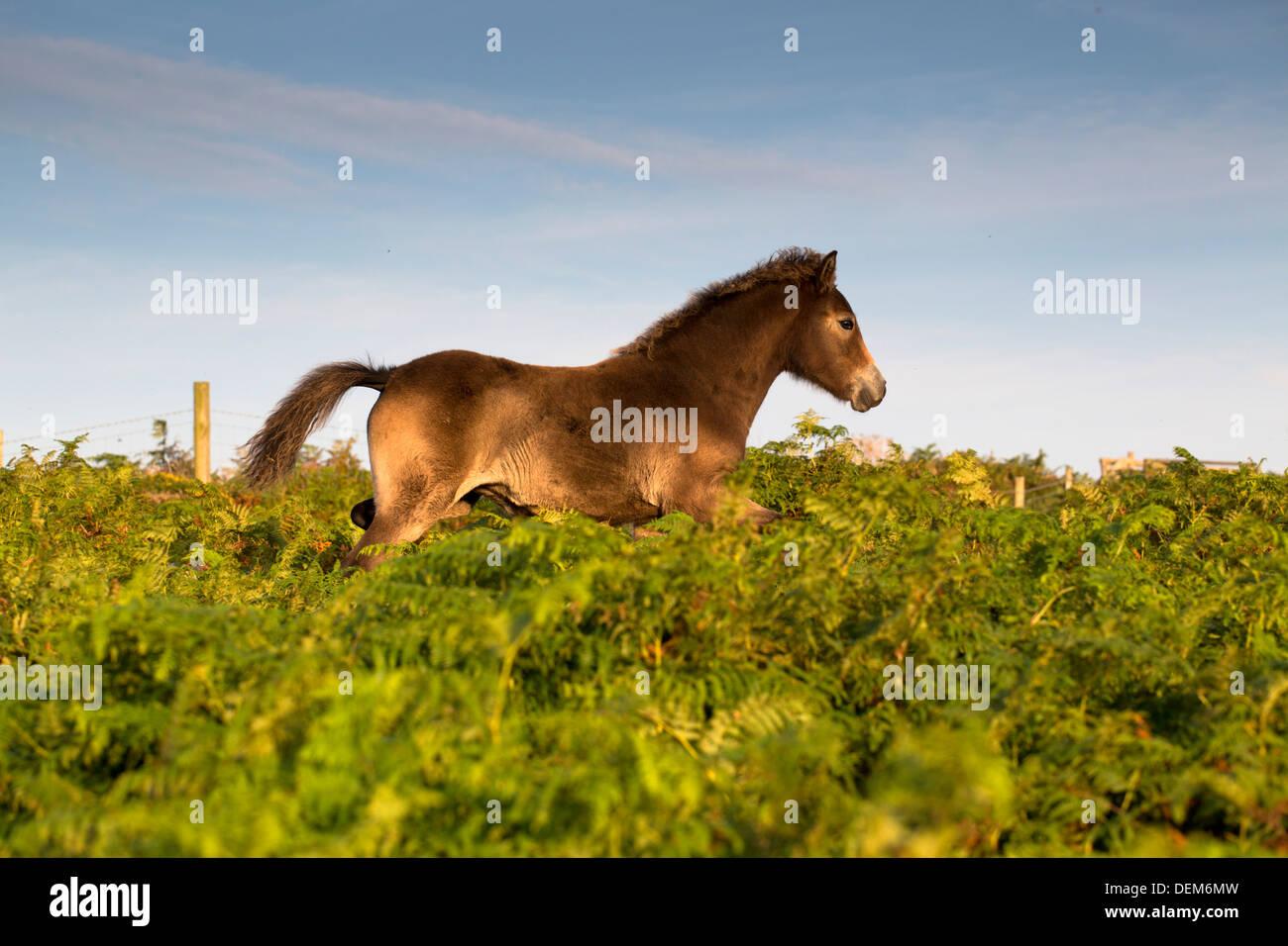 Pony; Al trote; Rosewall; Cornwall; UK Imagen De Stock