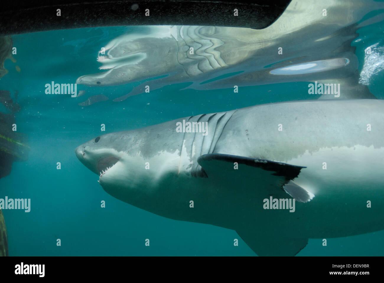 Hermosa Anatomía Gran Tiburón Blanco Imagen - Anatomía de Las ...