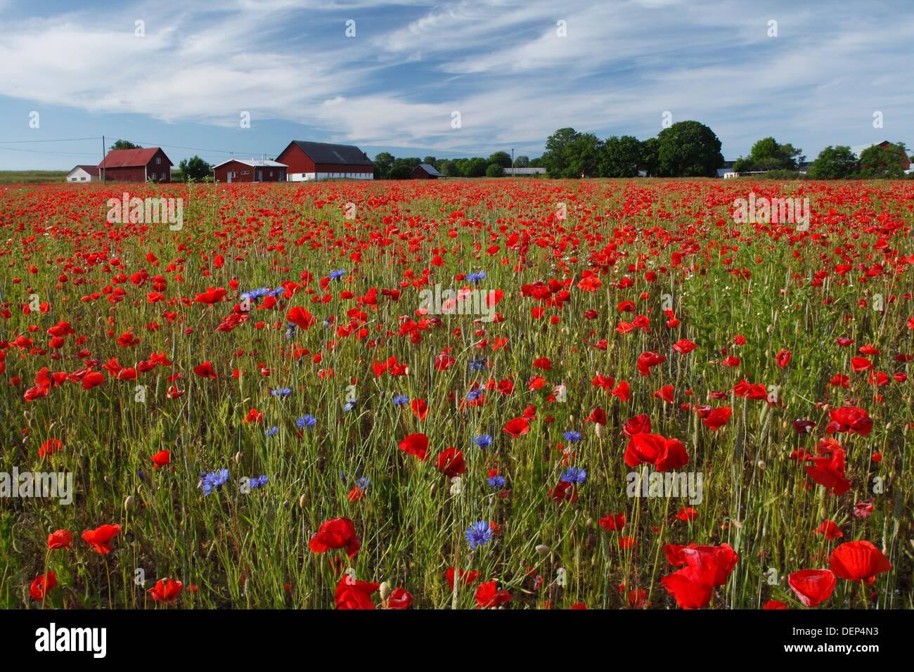 Prado florido Gotland Suecia. Imagen De Stock