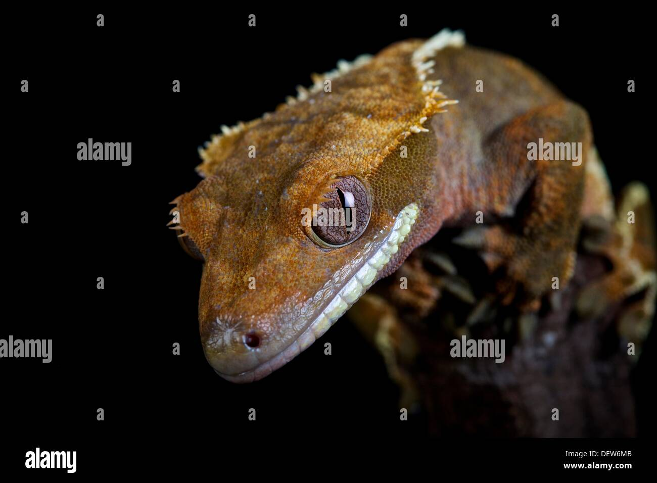 En cautiverio, Colección Privada Crested Gecko Foto de stock
