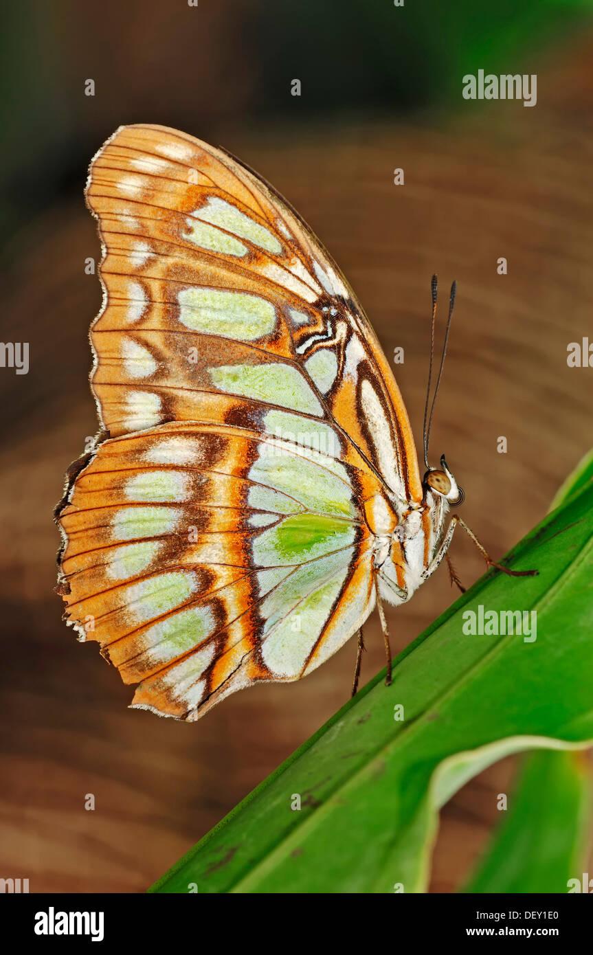 Malaquita Siproeta stelenes (mariposas), nativa de América del Sur, en cautividad, Países Bajos, Europa Foto de stock