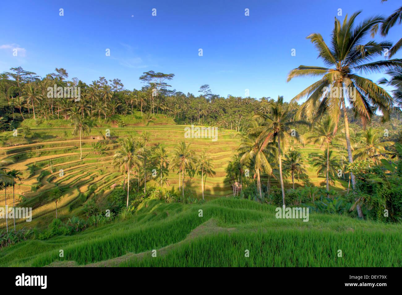Indonesia, Bali, Ubud, Tegallalang/Ceking terrazas de arroz Imagen De Stock