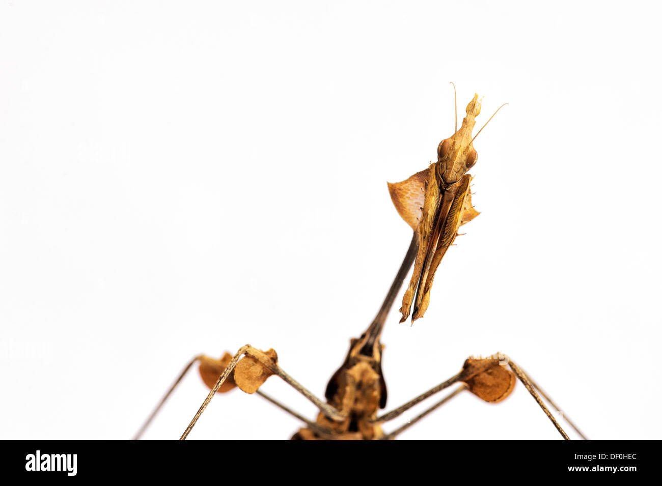 Gongylus gongyloides. Violín errante mantis. Mantis ornamentado. Indian Rose mantis Imagen De Stock