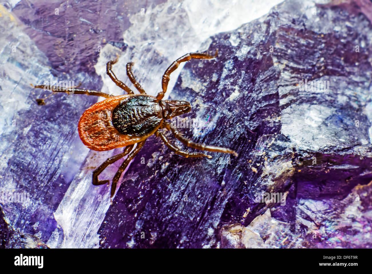 El ricino garrapata (Ixodes ricinus) Foto de stock