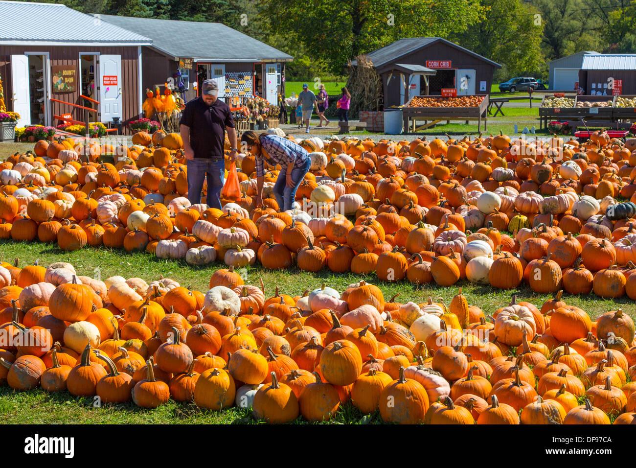 Par sacando calabazas en Pumpkinville en gran valle en la parte occidental del Estado de Nueva York Imagen De Stock