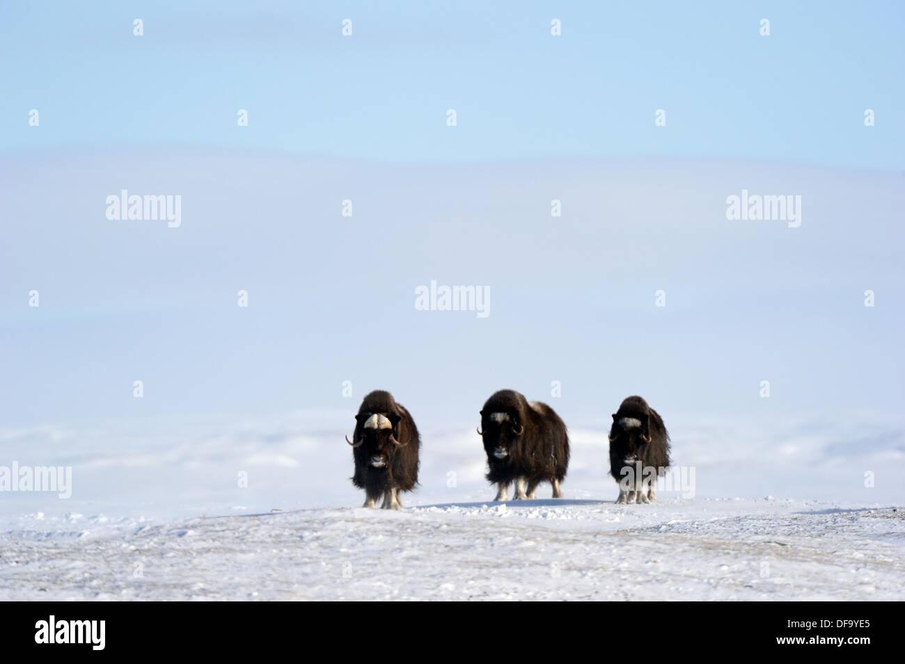 Tres en nieve Ovibos moschatus Muskox Banks Island, Territorios del Noroeste, Canadá Imagen De Stock