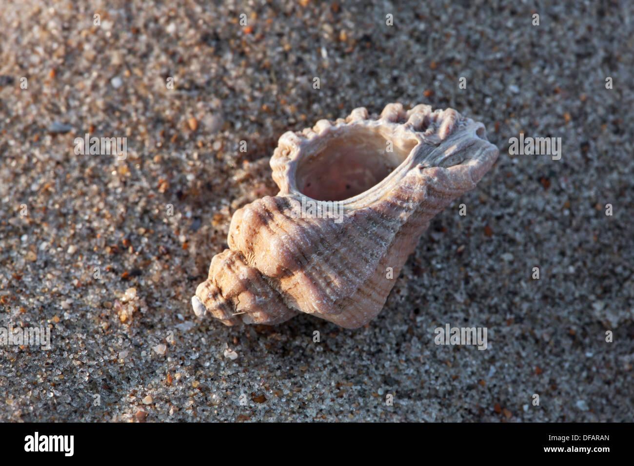 Unión sting winkle / taladro / Erizo Oyster Murex (Ocenebra erinacea), sobre la playa en la costa del Mar del Norte Foto de stock