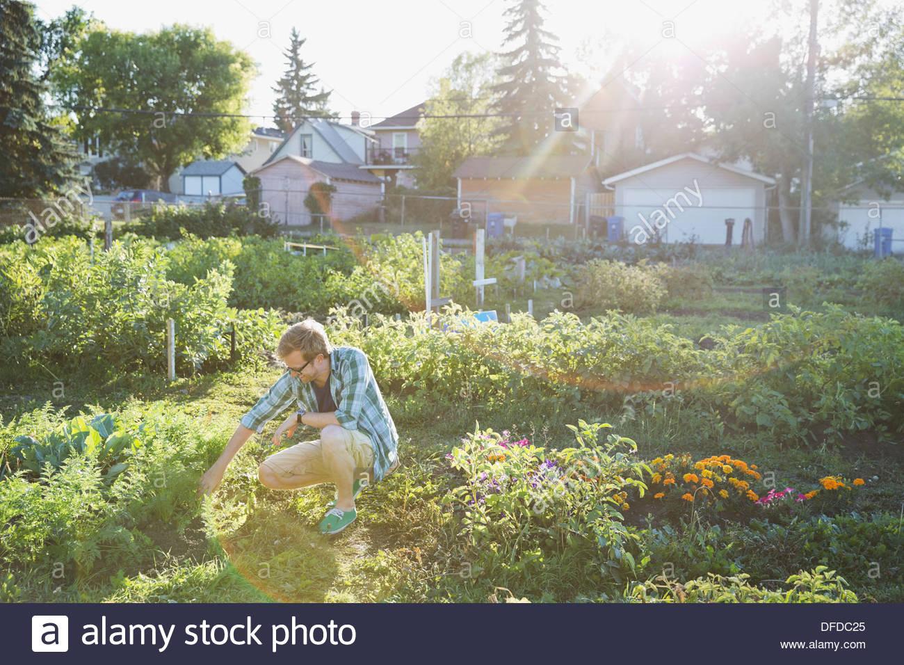 El hombre se inclinó en jardín comunitario Imagen De Stock