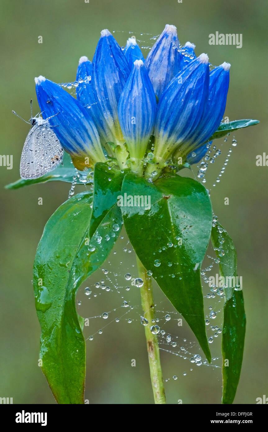 Cupido comyntas Tailed-Blue oriental Mariposa en tela de araña dewy vaso cubierto Gentiana Gentians andrewsii Este Foto de stock