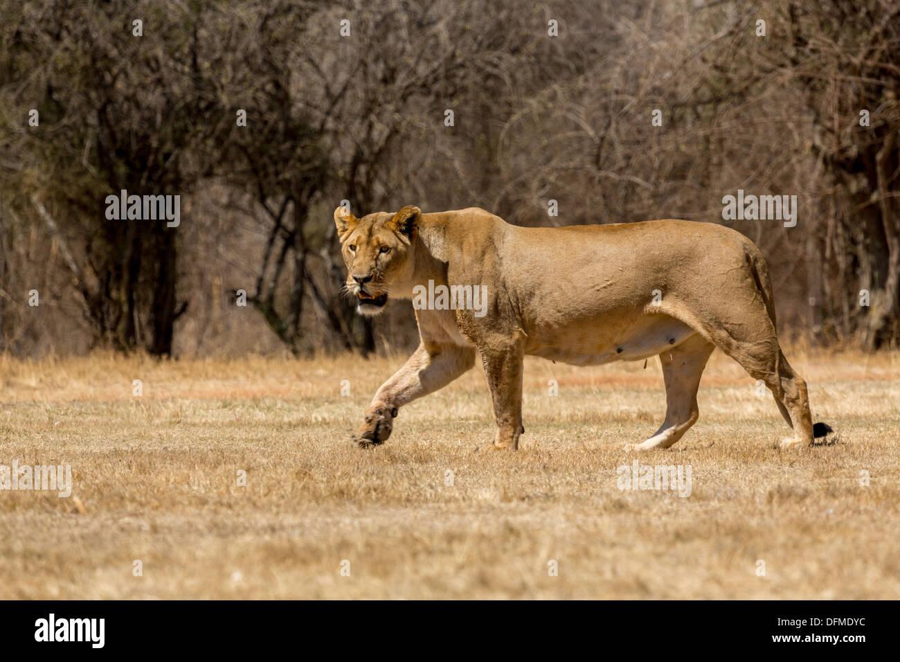 Una leona paseando por la sabana seca de tierras en un parque nacional en Sudáfrica Imagen De Stock