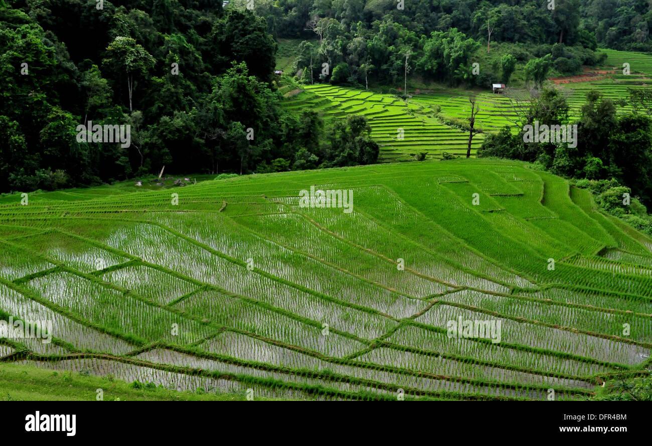 El Cultivo De Arroz En Tailandia Exuberantes Arrozales En