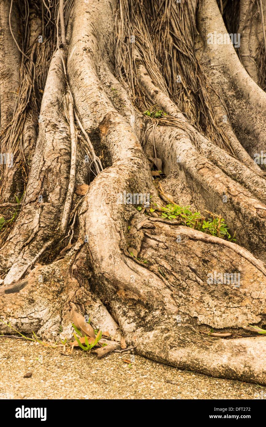 Close-up de un entrelazado de Banyan raíces en el jardín. Imagen De Stock