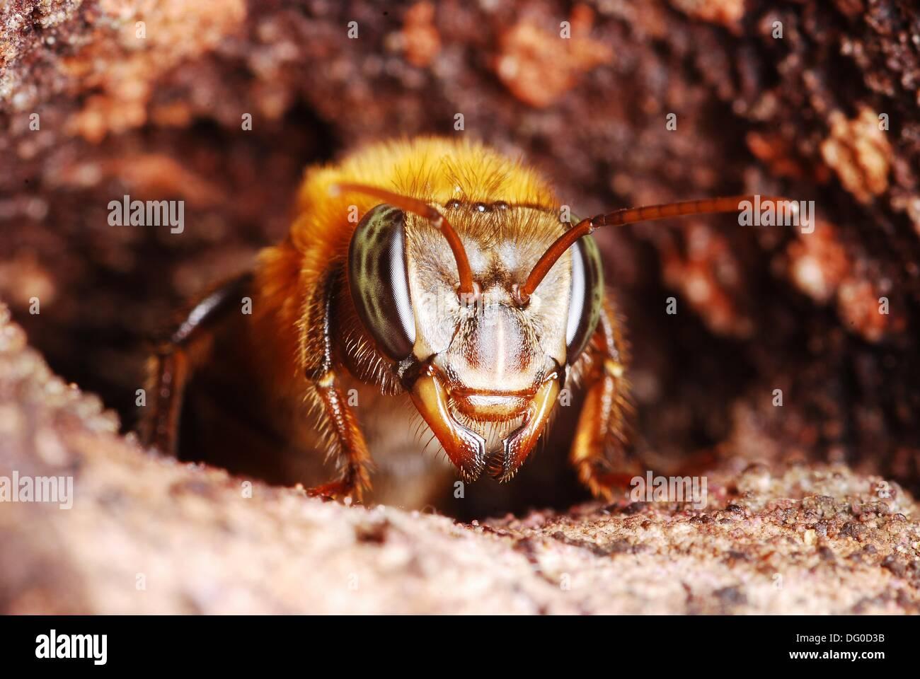 Trabajador de Melipona eburnea nido en la entrada, en Xapuri, Acre, Brasil, 2009 Bee 1cm de largo Imagen De Stock