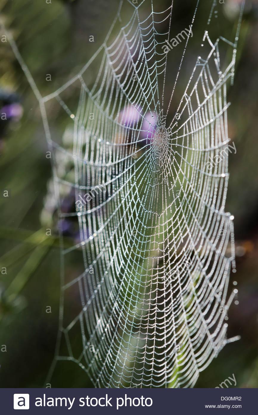 Araña araña de Orb Web sun retroiluminado con gotas de rocío matinal soleado jardín Imagen De Stock