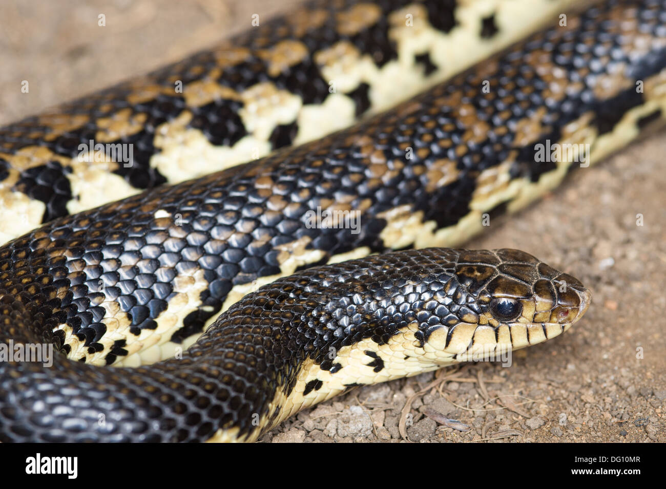 Madagascar hognose snake, naturaleza Peyrieras Leioheterondon madagascariensis, granja, Madagascar Imagen De Stock