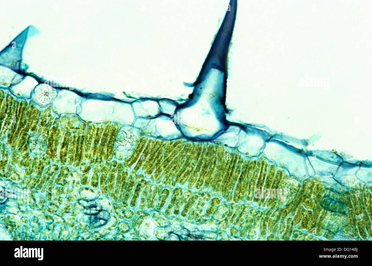 Hoja de ficus elastica, Moraceae, tricoma, 400 x Microscopio óptico ...