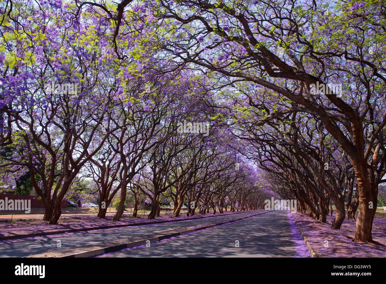 Blooming jacarandas revestimiento Milton Avenue, Harare, Zimbabwe Imagen De Stock