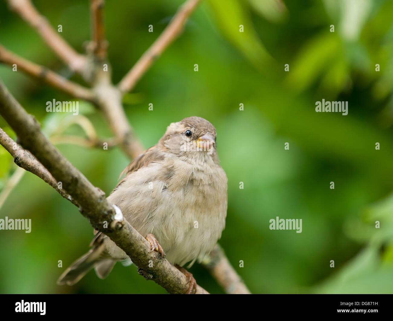 El Gorrión hembra pequeño sentado en una rama Foto de stock