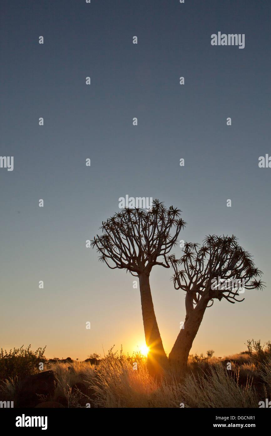Las puestas de sol en el bosque Quivertree Imagen De Stock