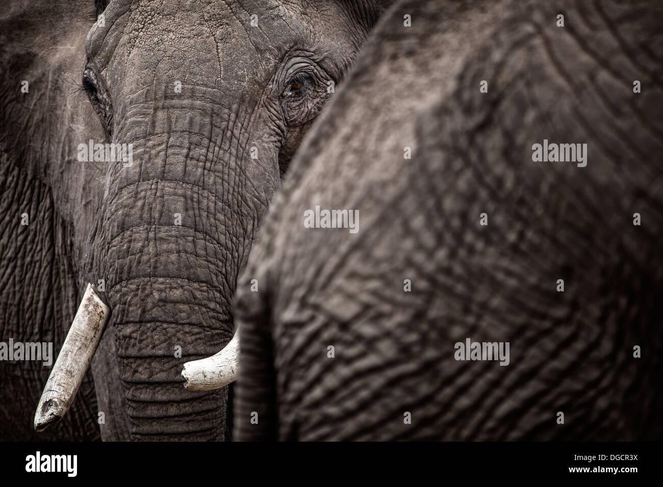 Un gran elefante mira alrededor del detrás de otro elefante Imagen De Stock