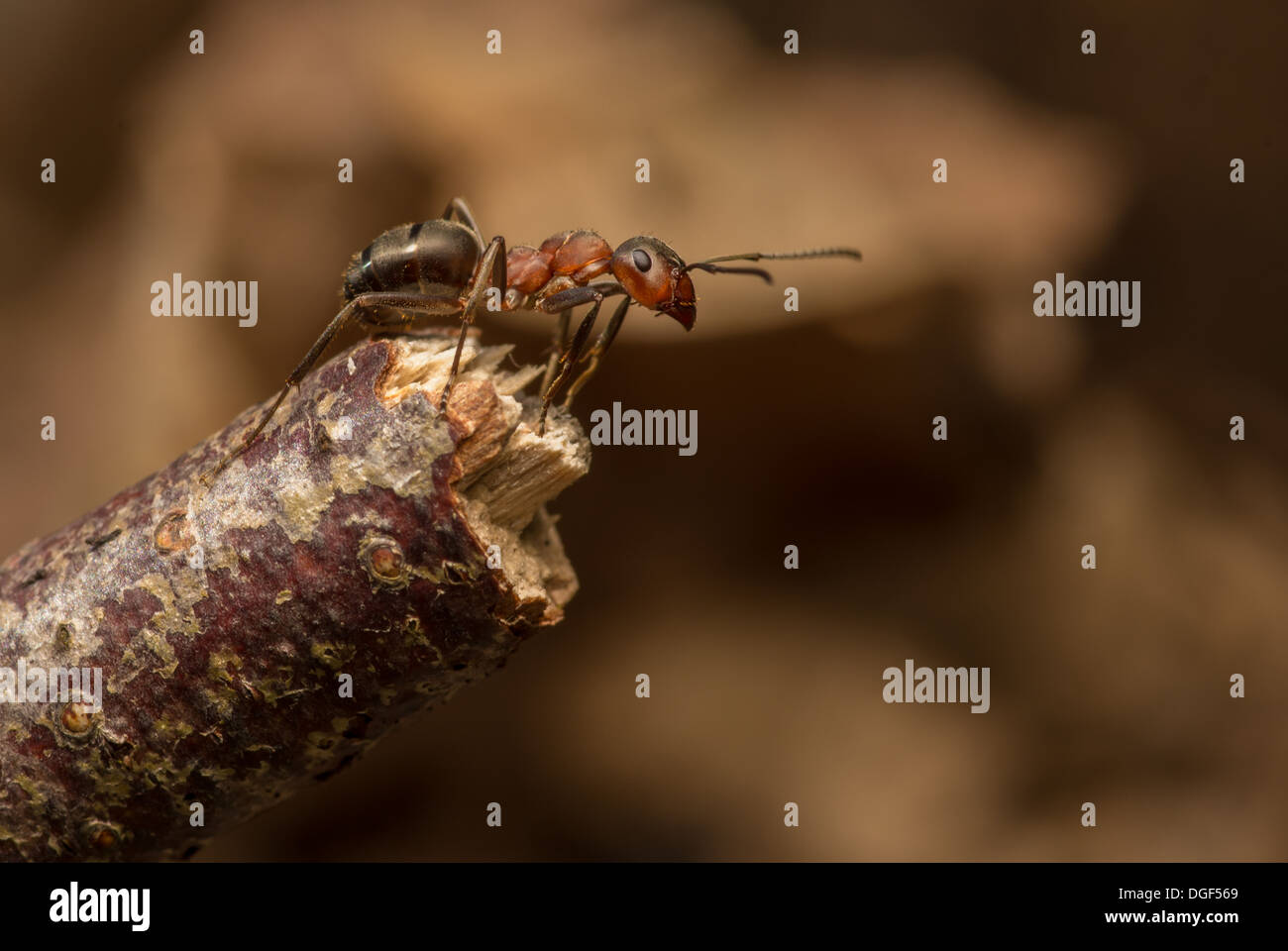 Hormiga de madera sobre twig Foto de stock