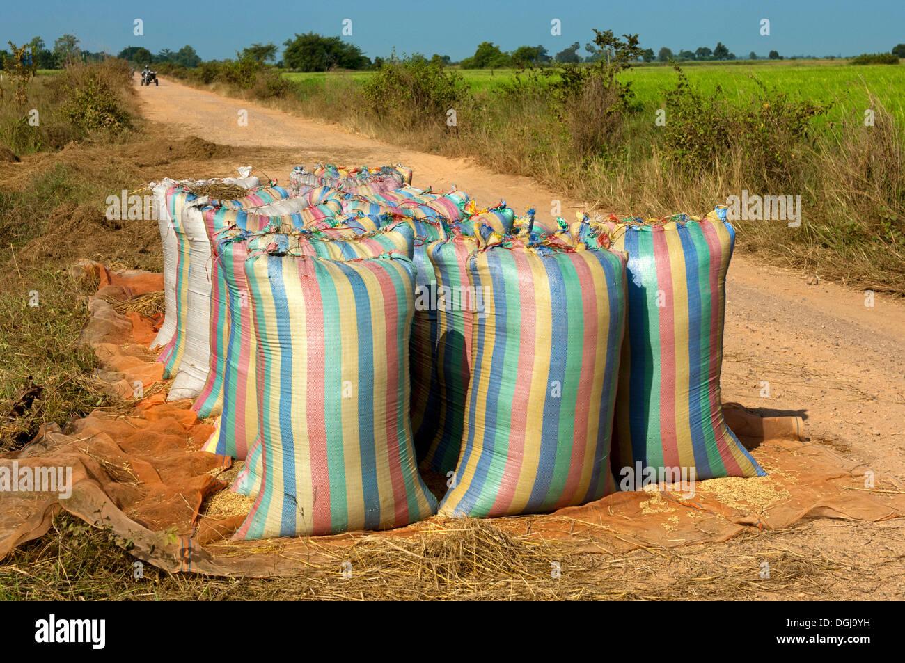 Abultamiento de sacos de arroz listo para su recogida en un camino de tierra, Battambang, Camboya, Sudeste Asiático, Asia Foto de stock