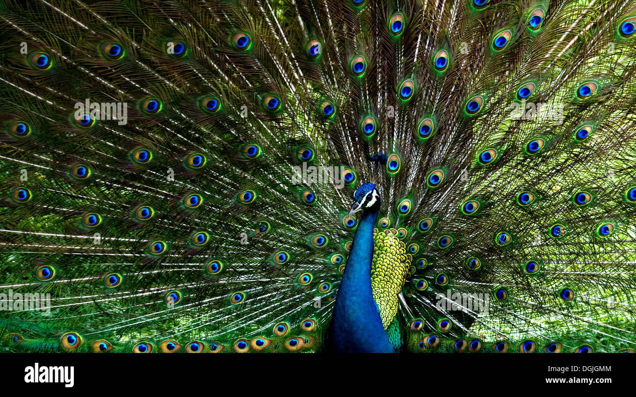 Un pavo real mostrando su plumaje. Foto de stock
