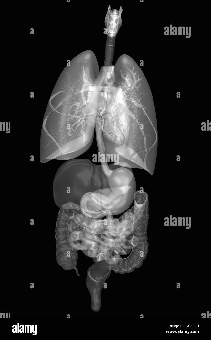 Anatomía Humana interna y los sistemas de órganos Foto & Imagen De ...