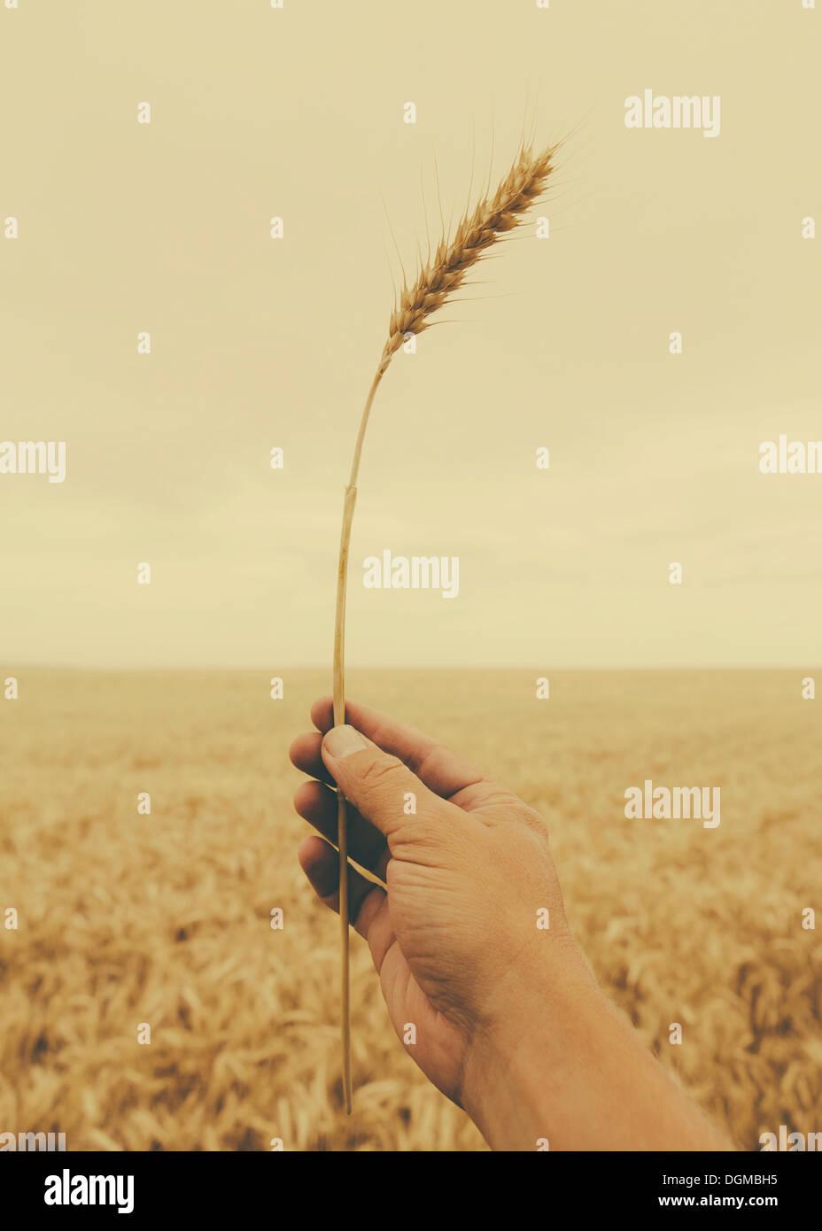 Una mano sosteniendo un tallo de trigo con una oreja de maduración en la parte superior. Imagen De Stock