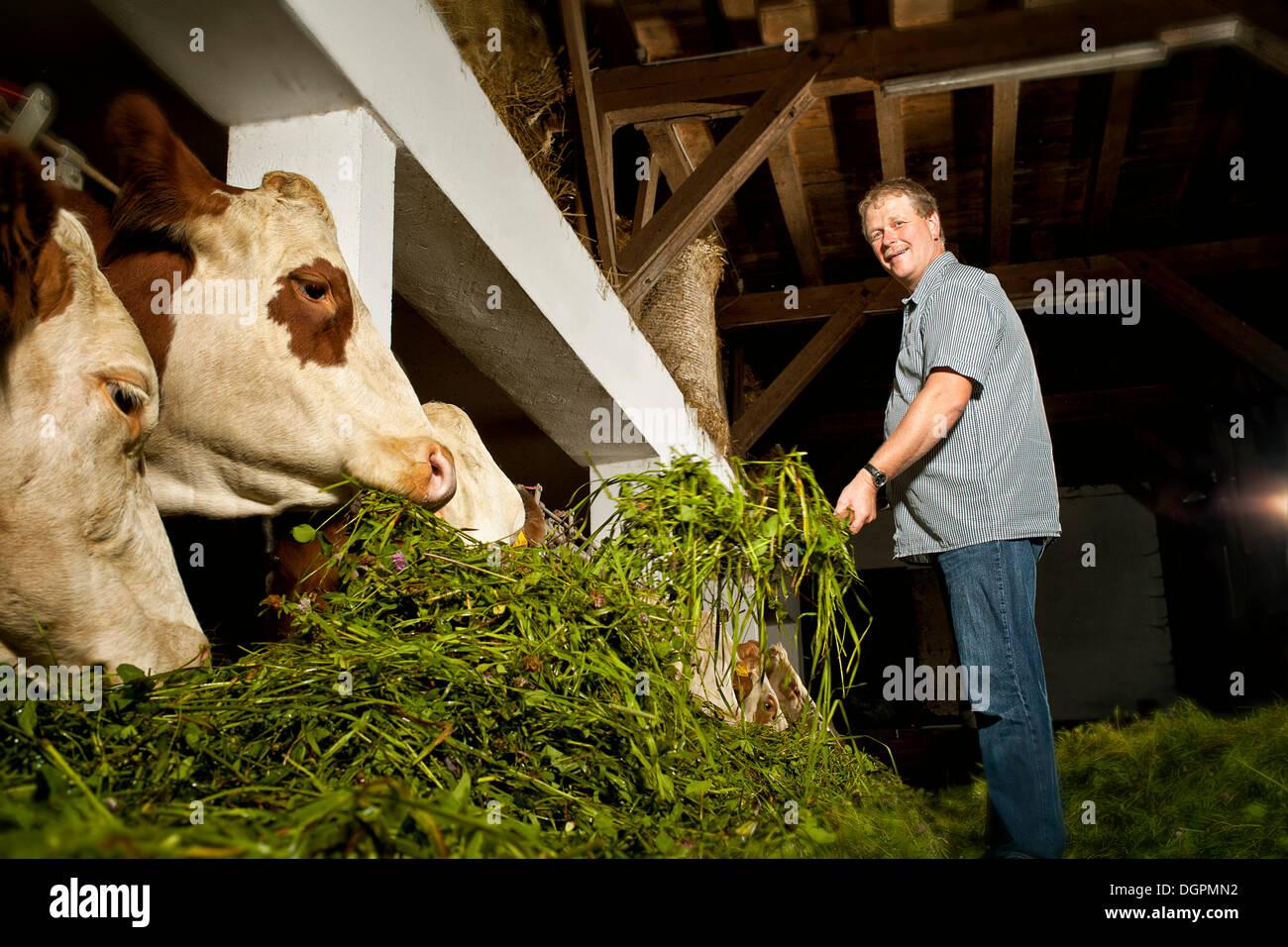 Agricultor alimentar su ganado Imagen De Stock