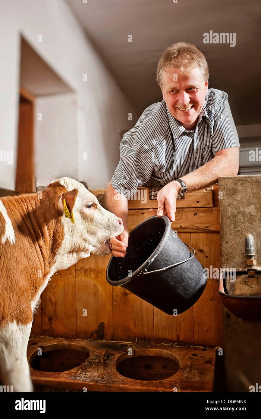 Agricultor para alimentar un ternero Imagen De Stock