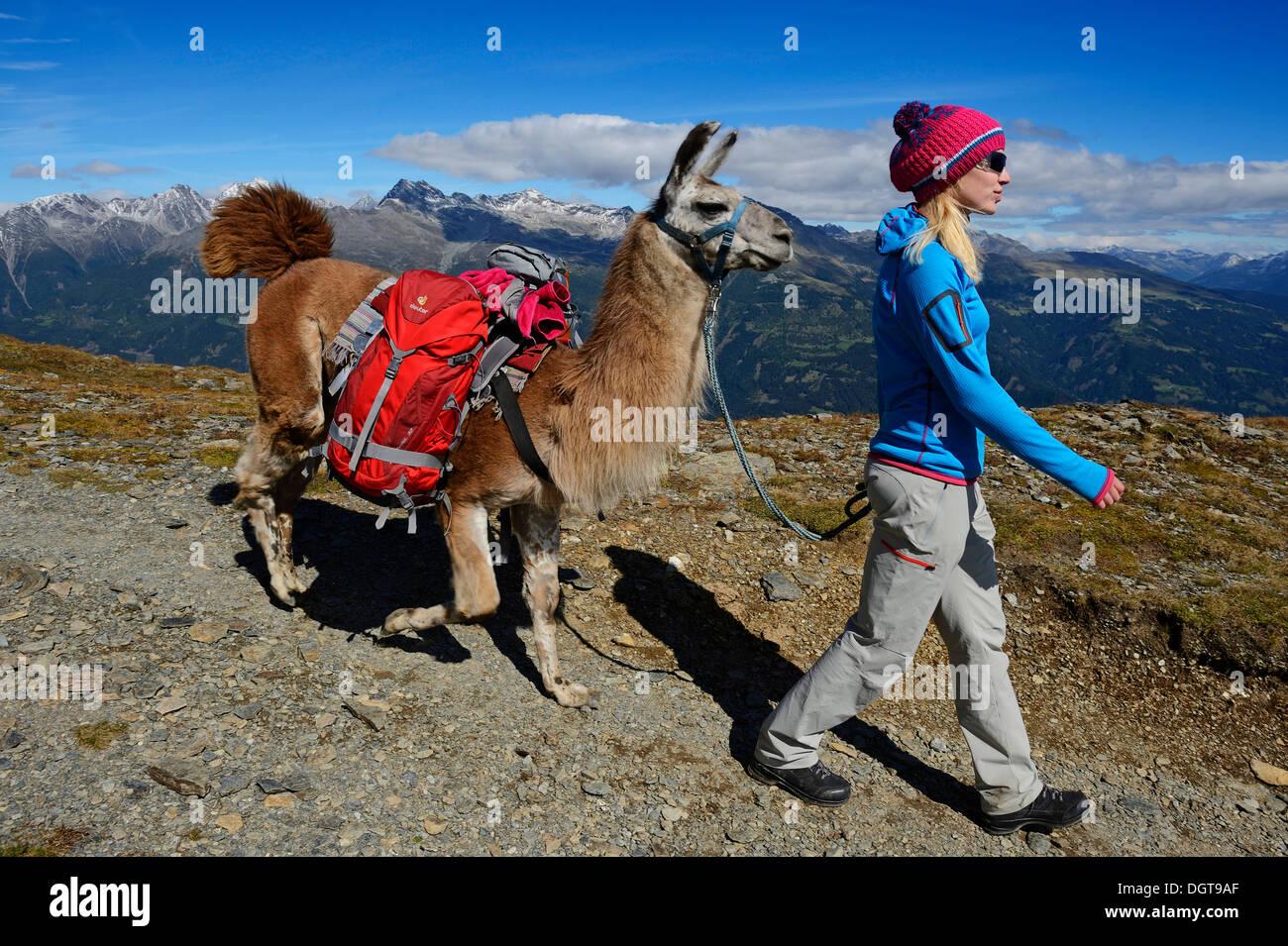 Llama tour en la cumbre de la montaña Weibele Boeses en el grupo Defregger, Carnic Dolomites, Lienz, Superior Puster Foto de stock