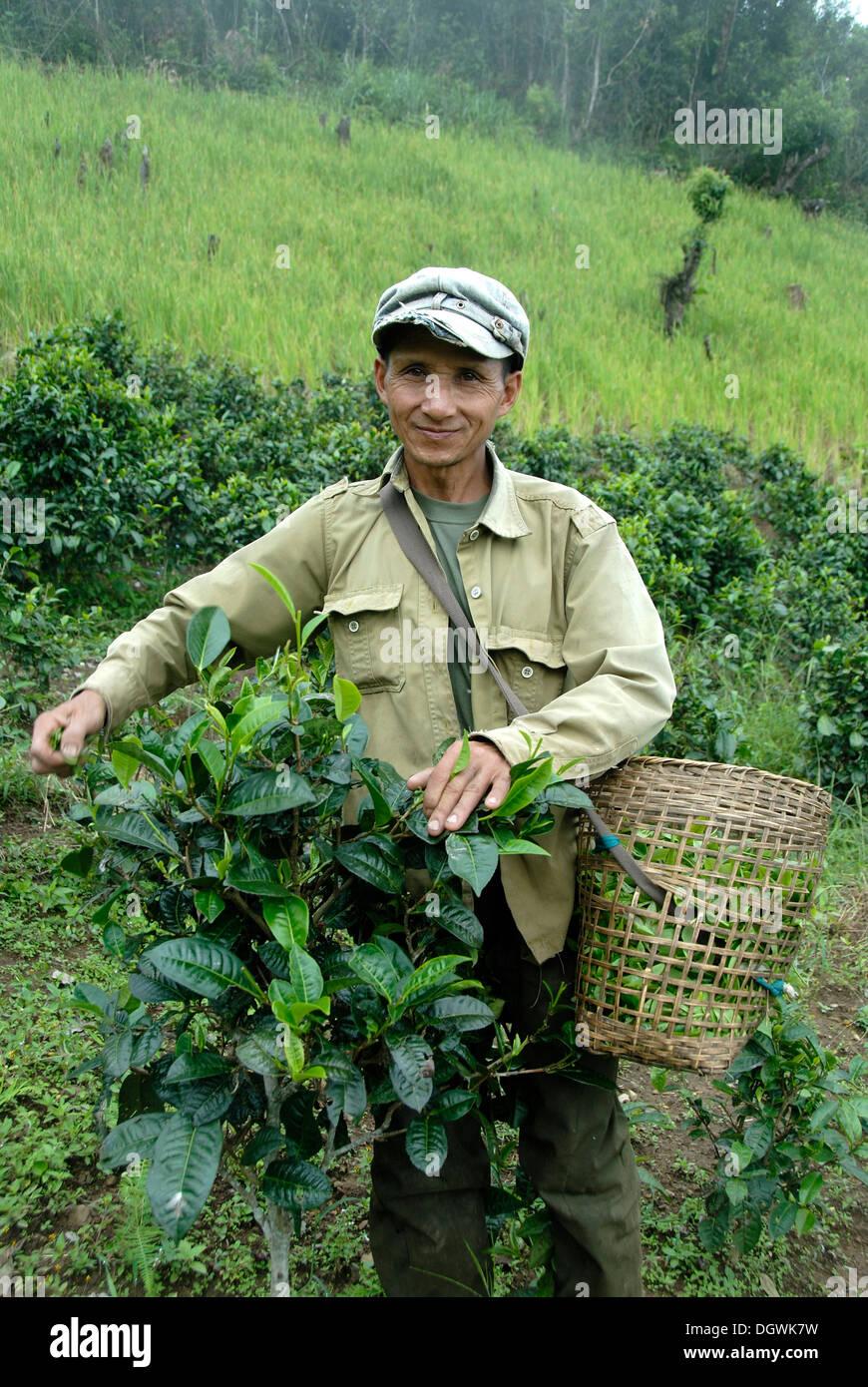 Cosecha de té, un hombre de la etnia Phunoy recogiendo hojas de té en una canasta, en Ban Sailom, distrito y provincia de Phongsali, Laos Imagen De Stock