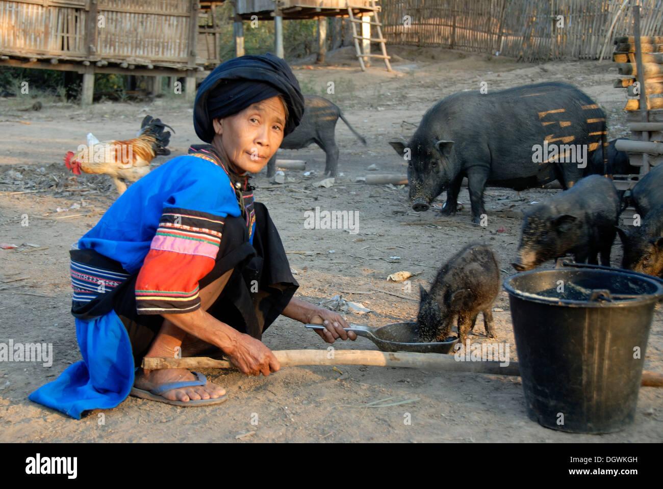 Mujer de la etnia de Lolo alimentar cerdos, vestidos tradicionales, azul y coloridas telas, turbante, la aldea de Ban Savang Imagen De Stock