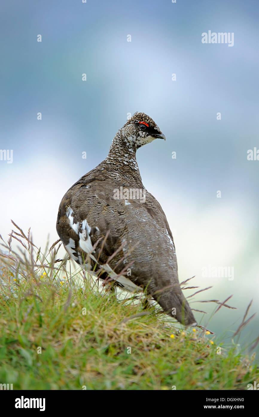 Ptarmigan o Rock lagópedos (Lagopus muta), macho, el plumaje de verano, encaramado sobre una roca, Niederhorn, en el Oberland bernés en Suiza Foto de stock