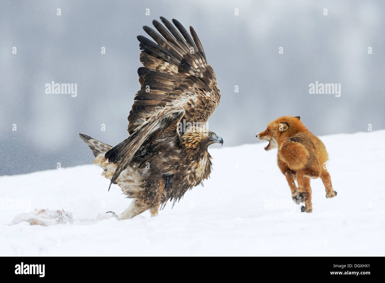 Águila Real (Aquila chrysaetos) luchando con un zorro rojo (Vulpes vulpes) sobre un cadáver, Sineo Kamani Nature Park, Bulgaria Foto de stock