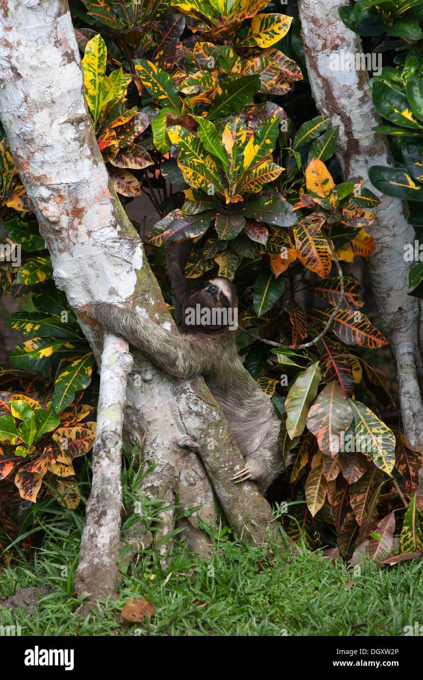 Wild Brown-throated perezoso de tres dedos (Bradypus variegatus) subiendo árbol para cruzar a otro árbol en el suelo Foto de stock