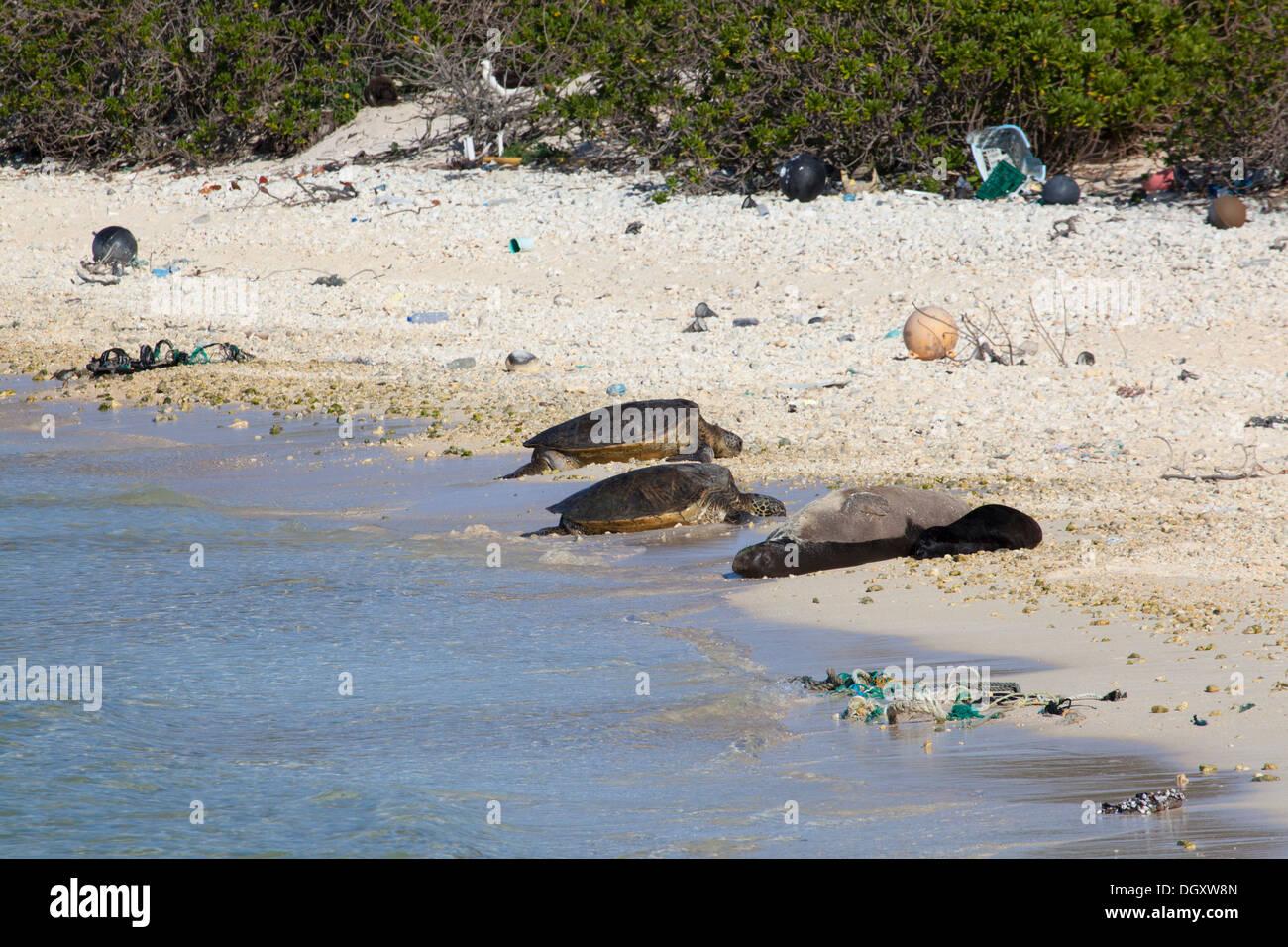 La foca monje hawaiana (Neomonachus schauinslandi) de la madre, el bebé y las Tortugas Marinas (Chelonia mydas) tome el sol en la playa de la isla del Pacífico Norte con desechos marinos Foto de stock