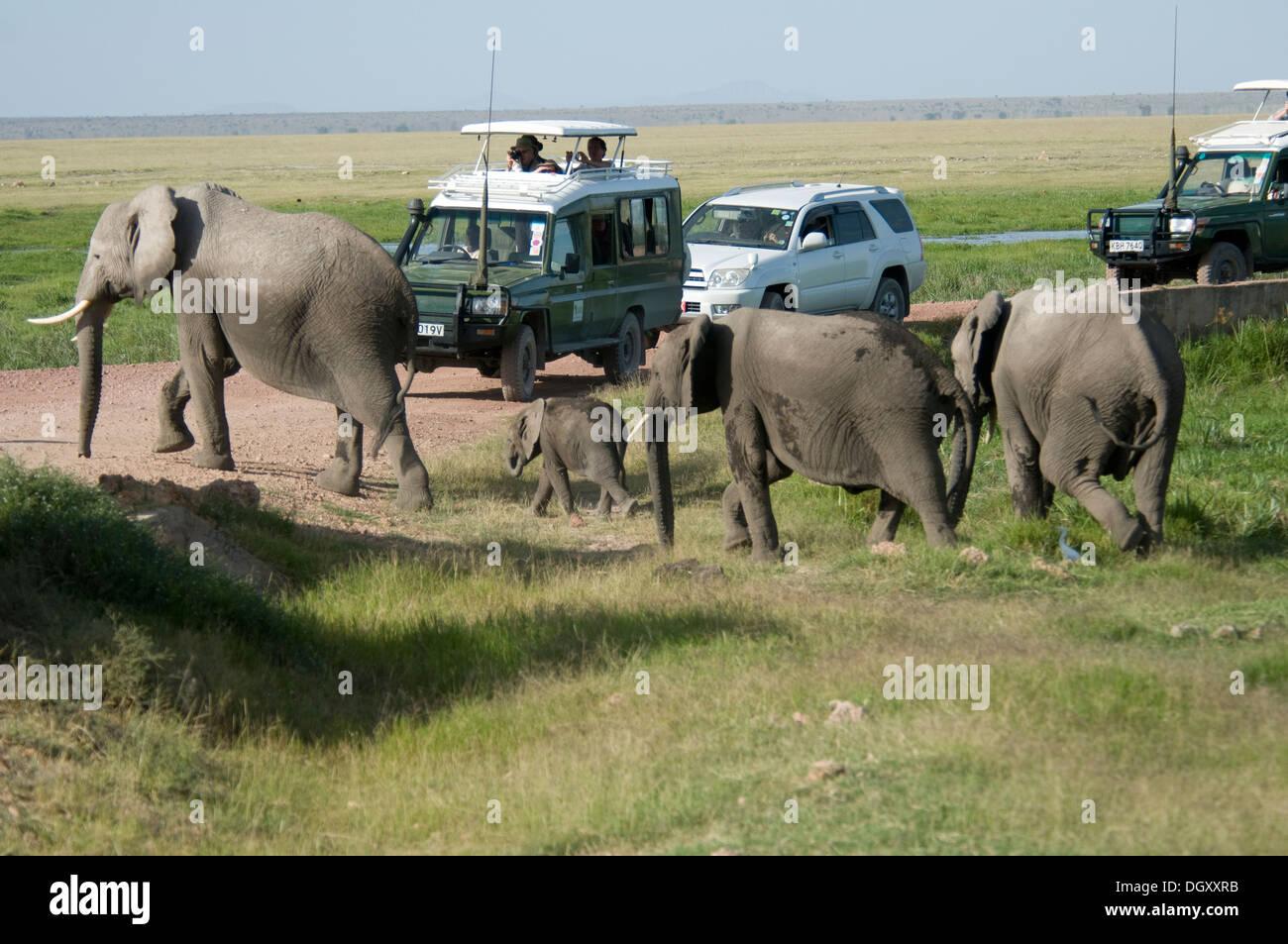 Los elefantes cruzando la carretera con vehículos de turismo parado Imagen De Stock