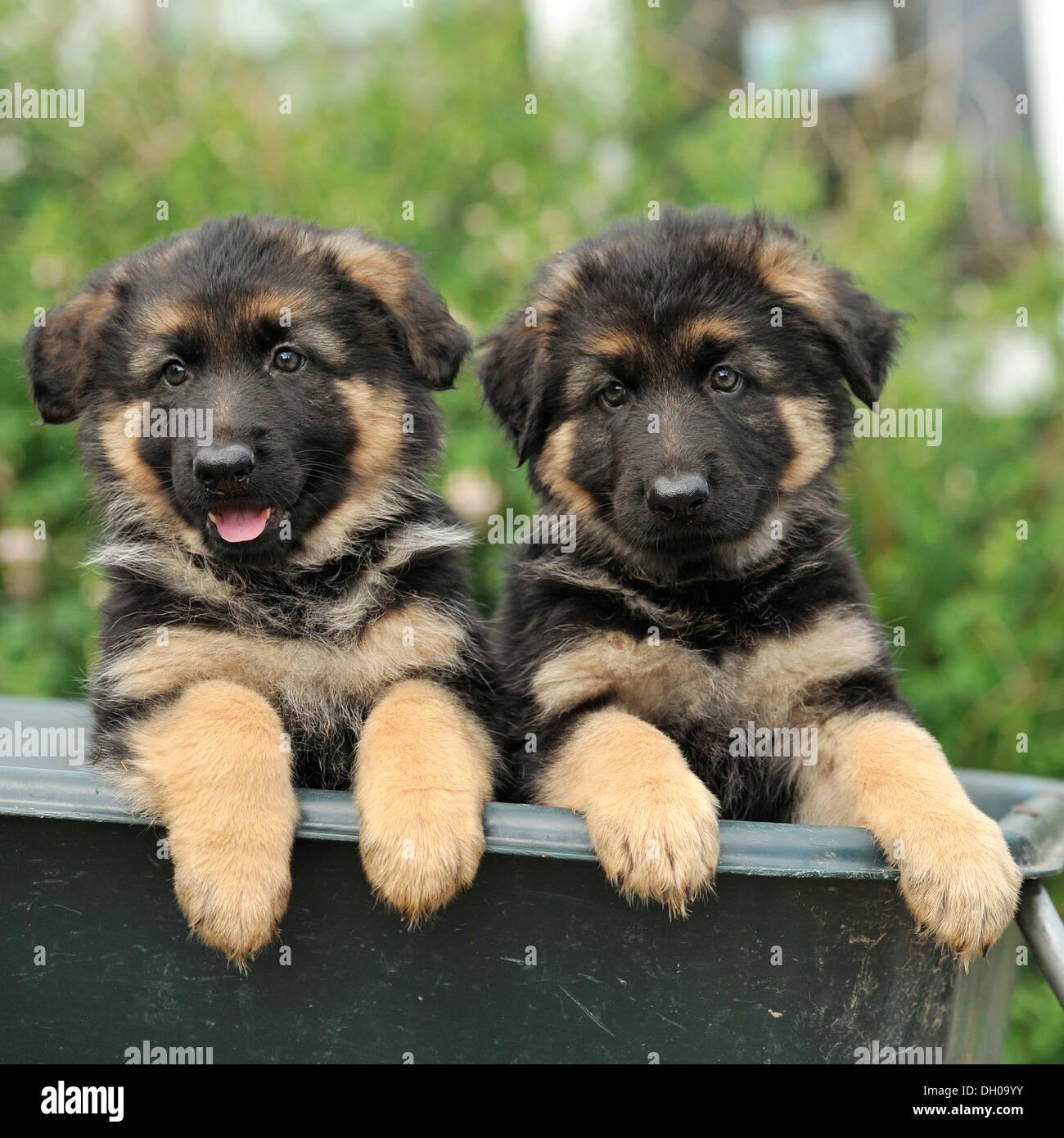Dos cachorros de perro pastor alemán Foto de stock