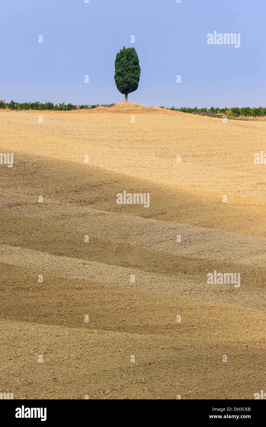 Ciprés solitario en la cima de una colina cerca de Montalcino, Toscana, Italia central Foto de stock