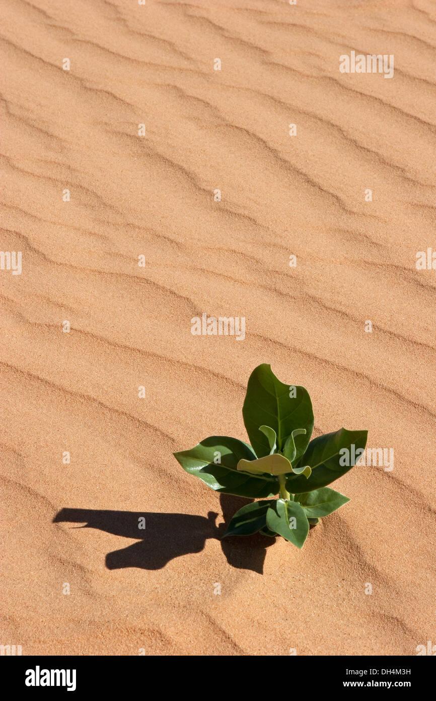 """Eddy patrones de viento en la arena del desierto con nueva planta Calotropis procera muestra """"ecologización del desierto"""", después de las recientes precipitaciones muy raros Imagen De Stock"""