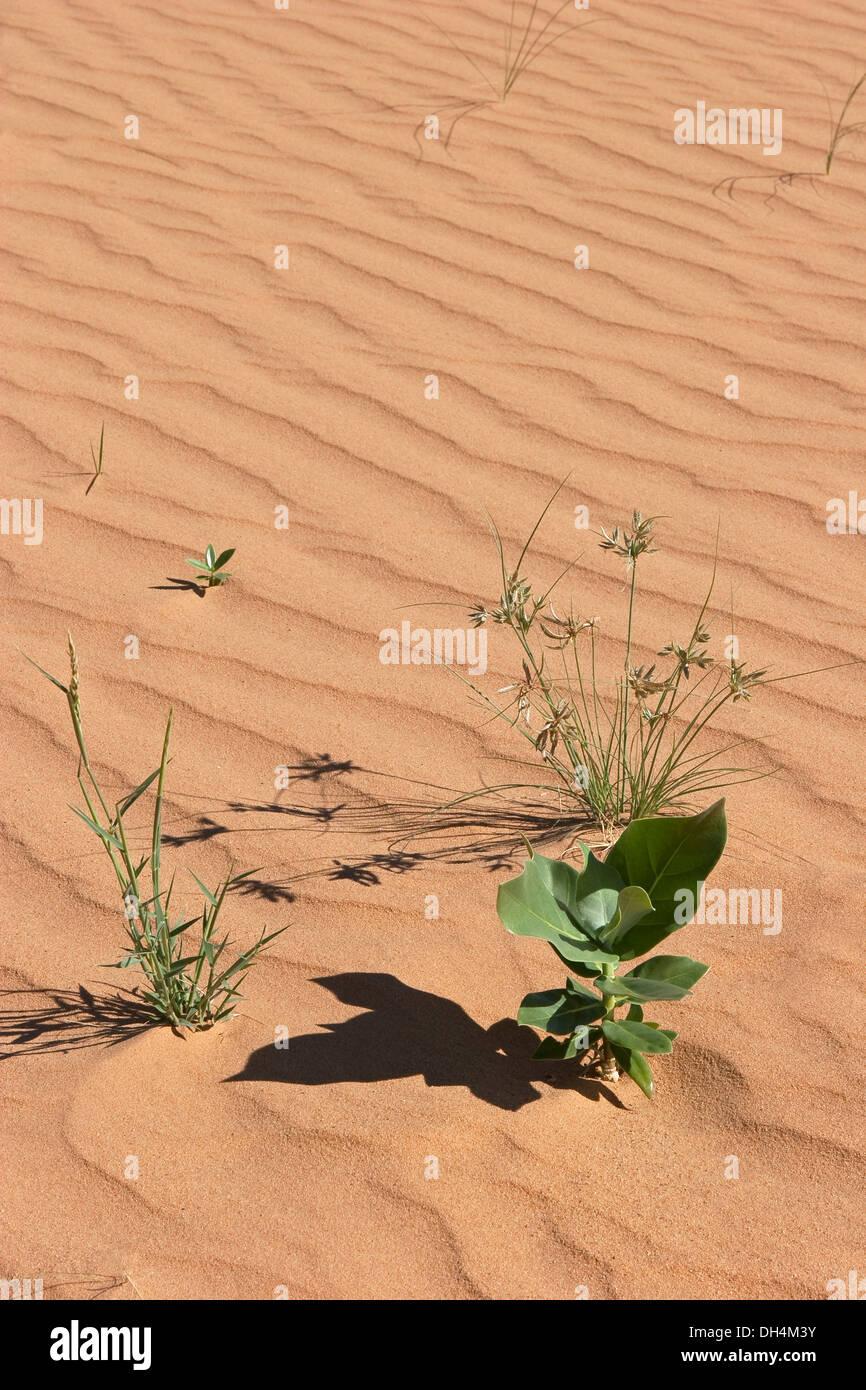 """Eddy patrones de viento en la arena del desierto con plantas y hierba de camello, mostrando """"ecologización del desierto"""", después de las recientes precipitaciones muy raro Imagen De Stock"""