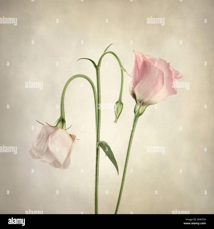 Dos rosa Eustoma con superposición de textura Imagen De Stock