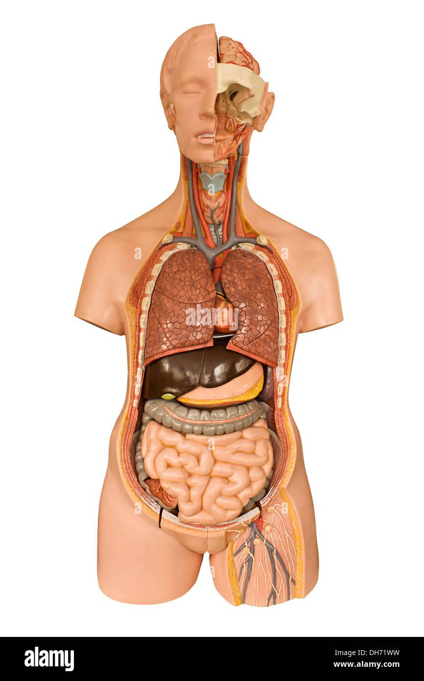 Human Internal Organs Imágenes De Stock & Human Internal Organs ...