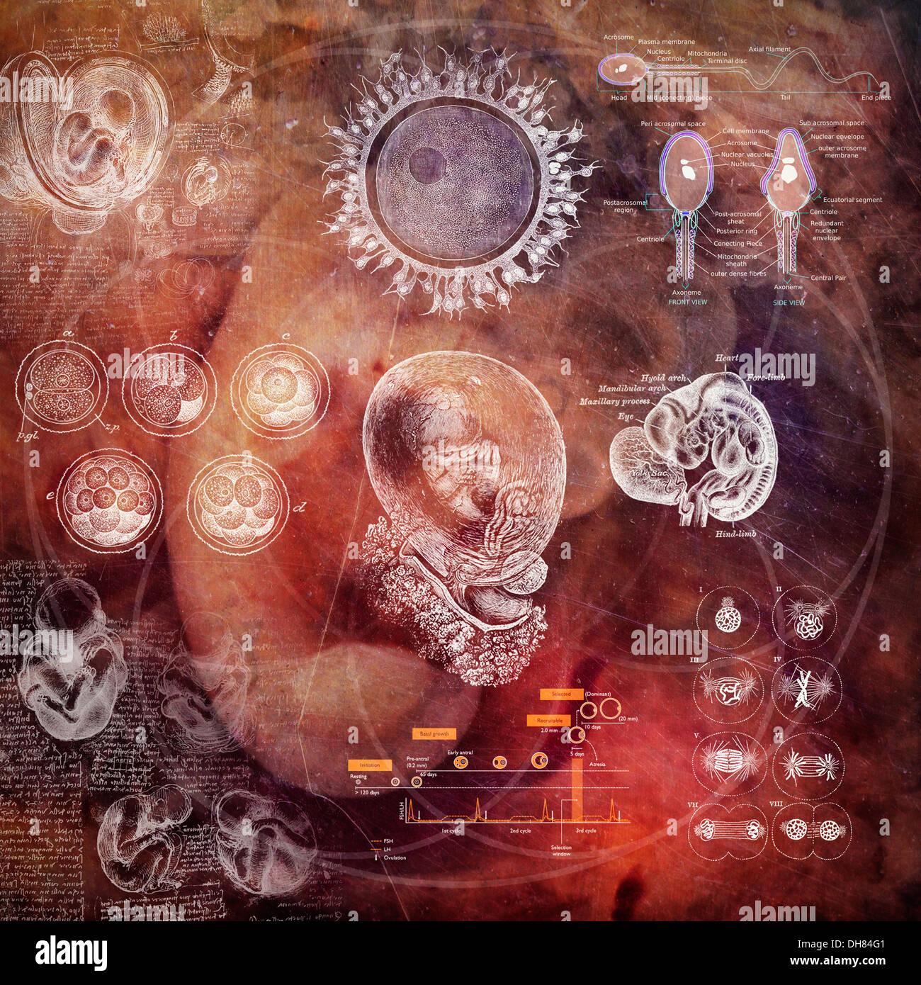 Embrión. Ilustración hecha con material libre de derechos de autor. Imagen De Stock